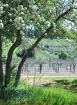 Jacobs Creek Vines - photograph & copyright Carol Lefevre - 2005